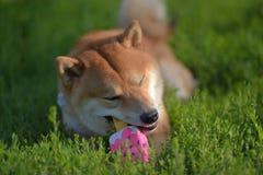 Shiba inu nadgryza zabawkę zdjęcia stock