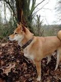 Shiba Inu nel legno fotografie stock