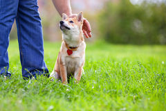 Shiba Inu in the park. Royalty Free Stock Photo