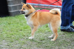 Shiba-Inu Pet Dog Stock Images