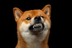 Shiba inu pies, Odosobniony Czarny tło Obraz Royalty Free