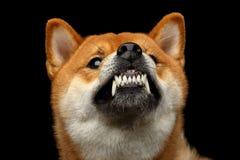 Shiba inu pies, Odosobniony Czarny tło Zdjęcie Stock