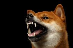 Shiba inu pies, Odosobniony Czarny tło Zdjęcia Royalty Free