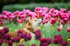 Shiba-inu Porträt in den Blumen Stockbilder