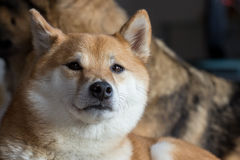 Shiba Inu Stock Photos