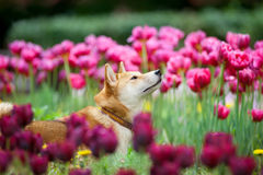 Shiba inu portrait in flowers Stock Images