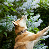 Shiba inu portrait in lilac Stock Photo