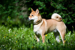 Shiba inu portrait outdoor at summer Stock Images