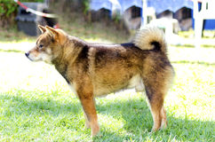 Shiba Inu. A profile view of a young beautiful fawn, sesame brown Shiba Inu puppy dog standing on the lawn. Japanese Shiba Inu dogs are similar to Akita dogs Stock Image