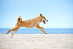 Shiba-inu psa bieg na plaży Fotografia Royalty Free