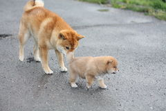 Shiba inu puppie exploring with help of his older brother. Adorable shiba inu puppies 5 weeks old exploring outside for the first time Royalty Free Stock Photos