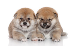 Shiba Inu puppies Royalty Free Stock Photo