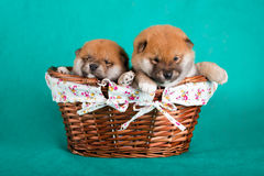 Shiba Inu puppies in a basket on green background. Studio shot Royalty Free Stock Images