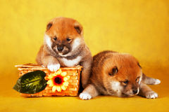 Shiba Inu puppies in a basket on yellow background. Studio shot Stock Photography