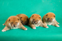 Shiba Inu puppies on green background. Studio shot.  Royalty Free Stock Photo