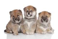 Shiba-inu puppies stock image