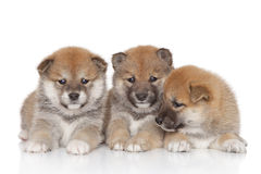 Shiba inu puppies stock photos
