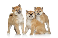 Shiba inu puppies portrait Stock Images