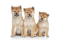 Shiba inu puppies portrait Stock Photos