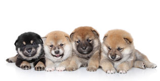 Shiba Inu puppies on white background Stock Photography