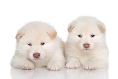 Shiba inu puppies Stock Photography