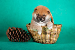 Shiba Inu puppy in a basket on green background. Studio shot.  stock image