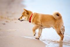 Shiba inu puppy on a beach Stock Photo