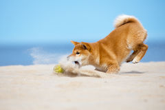 Shiba-inu puppy catching a ball Stock Images