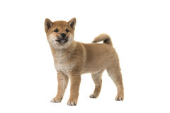 Shiba Inu puppy dog standing seen from the side glancing away. Isolated on a white background Stock Photography
