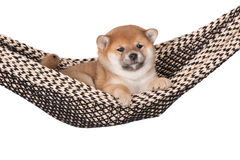 Shiba inu puppy in a hammock Royalty Free Stock Photos