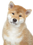 Shiba inu puppy, isolated on white background Royalty Free Stock Images