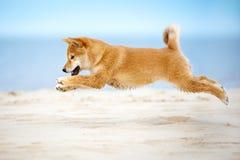 Shiba-inu puppy jumping. Three months old shiba inu puppy Stock Photos