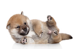 Shiba-inu puppy lies Royalty Free Stock Photos