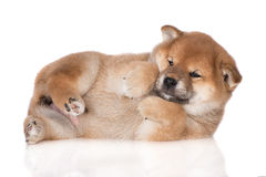 Shiba inu puppy lying on the side Royalty Free Stock Images
