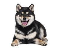 Shiba Inu puppy , 4.5 months old royalty free stock photo