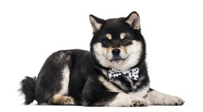 Shiba Inu puppy , 4.5 months old royalty free stock image