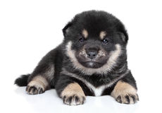 Shiba Inu puppy (one month) Stock Images