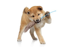 Shiba inu puppy playing Royalty Free Stock Image