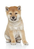 Shiba inu puppy portrait Royalty Free Stock Images