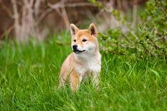 Shiba-inu puppy posing on grass Royalty Free Stock Photo