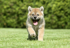Shiba inu puppy running. Shiba-inu puppy running on a green lawn Royalty Free Stock Images