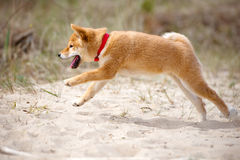 Shiba-inu puppy running outdoors Royalty Free Stock Images