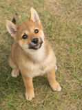 Shiba Inu Puppy Royalty Free Stock Photo