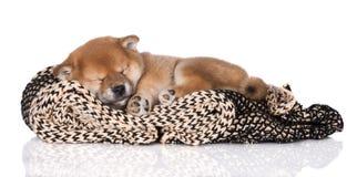 Shiba inu puppy sleeping. One month old shiba inu puppy Stock Image