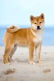 Shiba-inu puppy standing on a beach Stock Photo