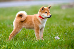 Shiba inu puppy standing on grass Royalty Free Stock Photos