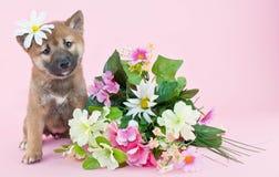 Shiba inu Puppy Stock Photos
