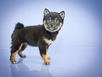 Shiba Inu Puppy Royalty Free Stock Images