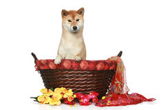Shiba inu puppy in wattled basket Royalty Free Stock Images