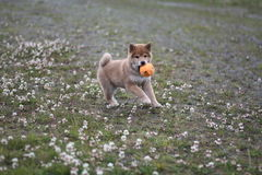 Shiba inu puppy 10 weeks old so cute Stock Images